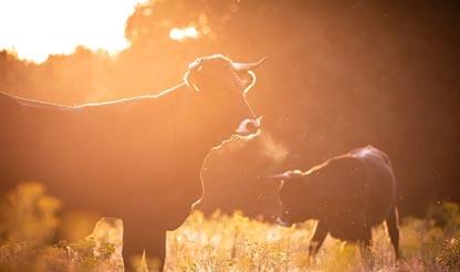 koeien nabij Grenzeloos en Zo