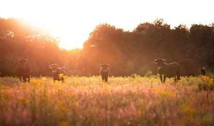 vijf koeien nabij Grenzeloos en Zo